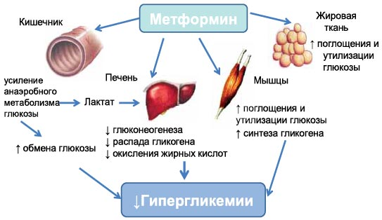 Как действует Глюкофаж