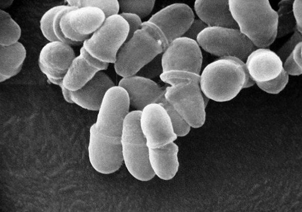 грибок Malassezia